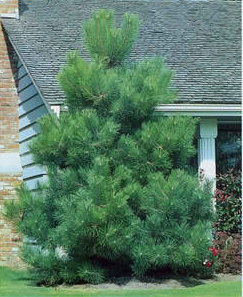 how to start a pine tree farm