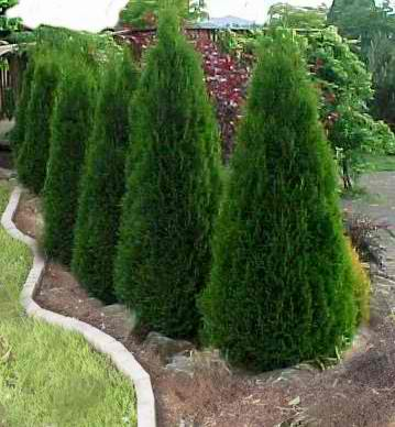 turfsavers tree farm evergreen trees for sale  turfsavers tree, Natural flower
