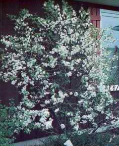 Strong Branching It Displays A Reliable Spring Bloom Of Pure White Flower Cers Followed By Showy Sweet Purplish Edible Fruit